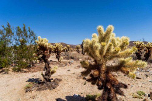 Kleine plantjes in Joshua national Park