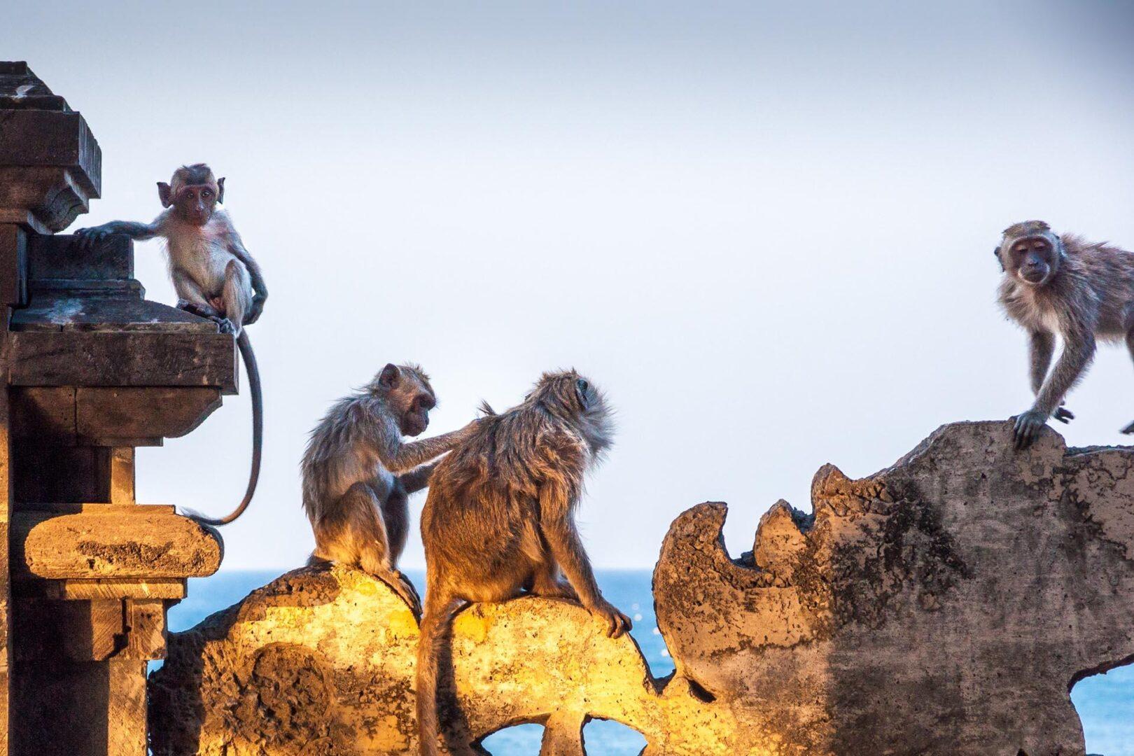 Monkey sunset temple