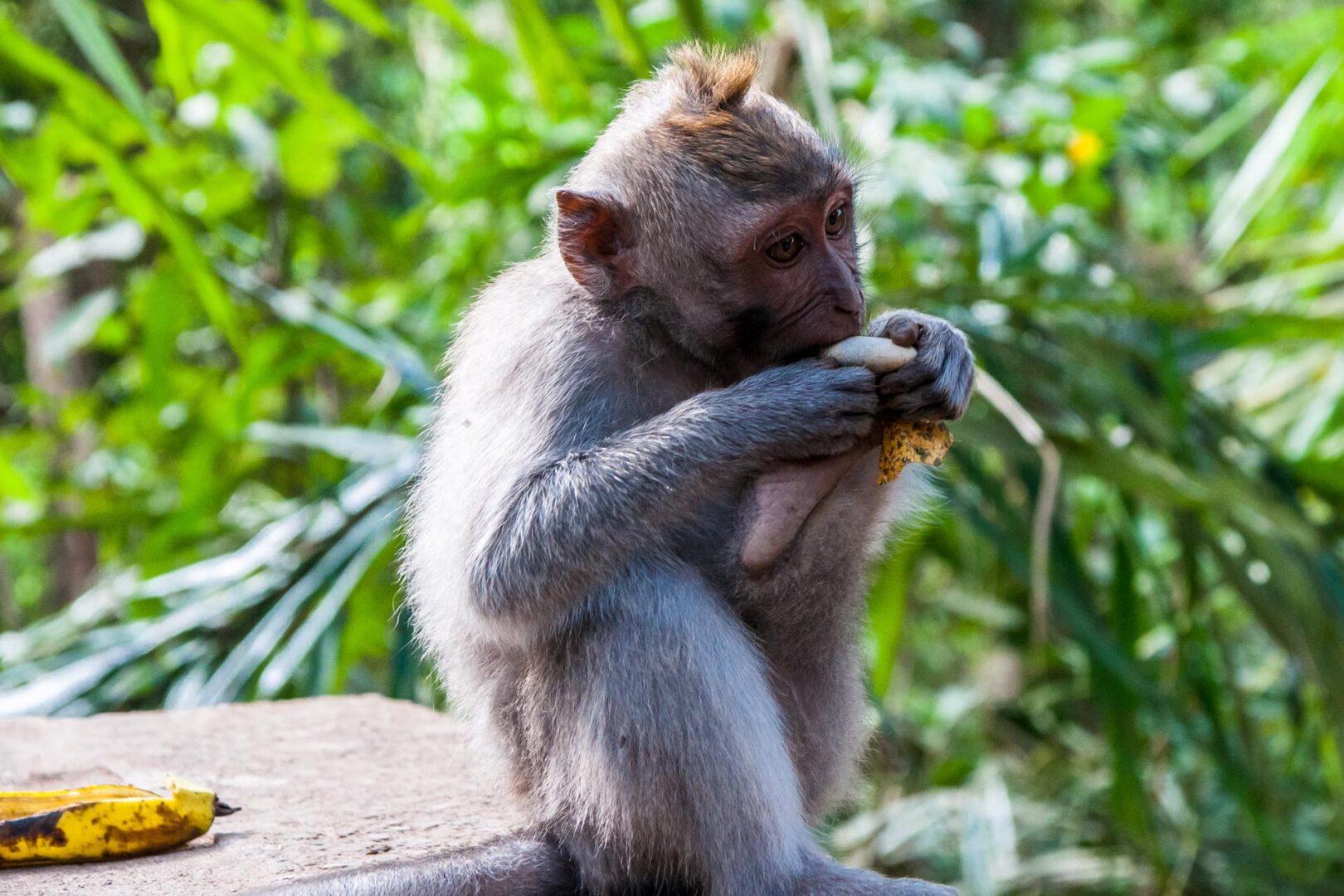 Aapje in monkey forest Ubud