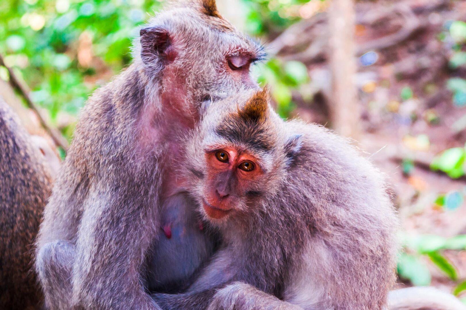 Aapjes in monkey forest Ubud