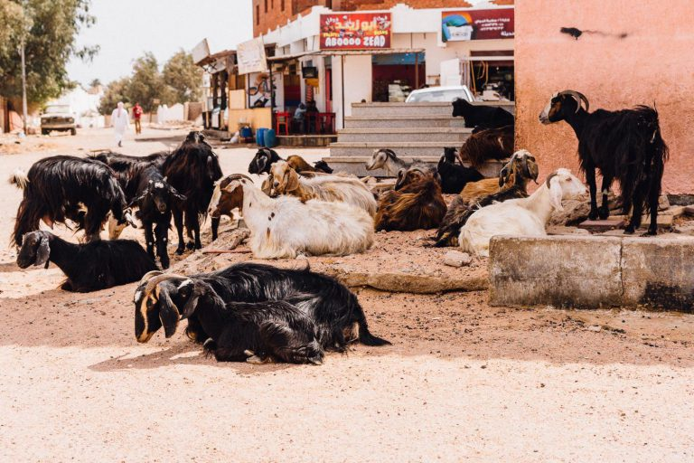 Dahab downtown, goats are having a get together